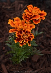 Marigold, to keep the Tomato Hornworm under control