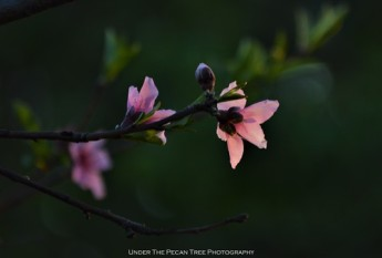 Peach Blossoms I