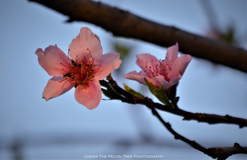 Peach Blossoms III