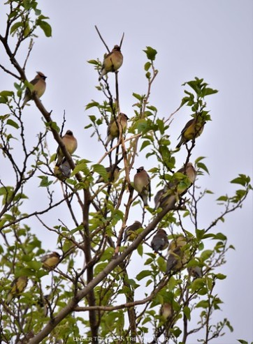 The Cedar Waxwings usually come in a flock of several dozen birds.