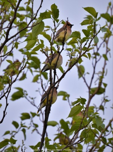 These three Cedar Waxwings share one branch.