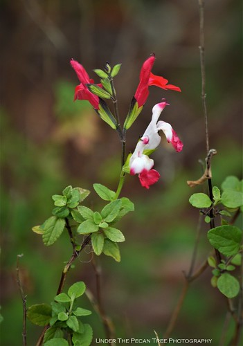 Hot Lip Sage (Salvia microphylla) I