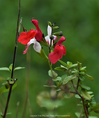 Hot Lip Sage (Salvia microphylla) II