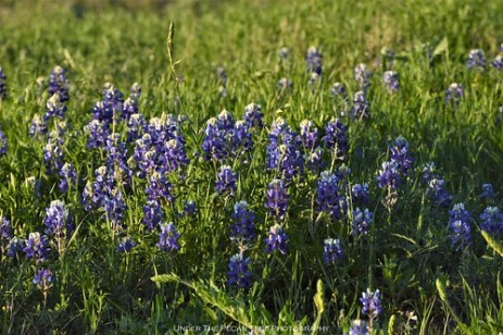 Texas Bluebonnet at Arbor Hills Nature Preserve in Plano
