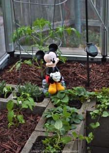 Mickey is very happy with the result. He enjoys sitting by the strawberry plants.