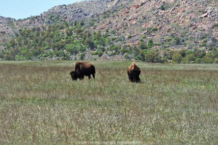 Bison in the meadow