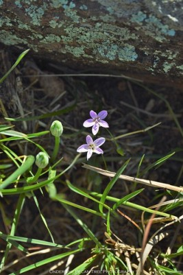 Spring Beauty (Claytonia virginica) along the trail