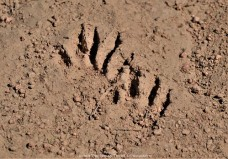 Raccoon footprints along the jed Johson trail