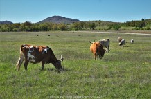 Longhorns in the meadow