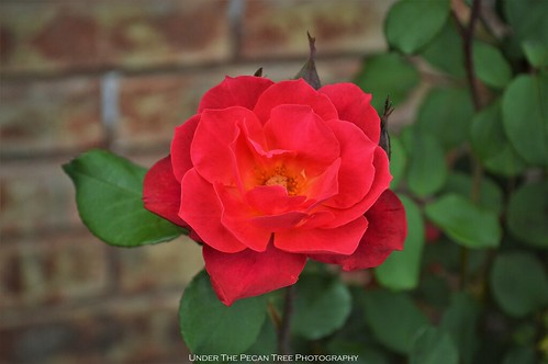 Rose in the frontyard I