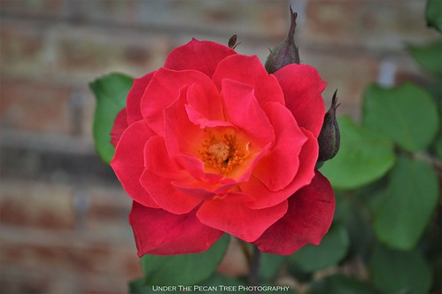 Rose in the frontyard II