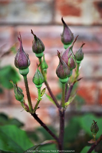 Rose buds on the rose bush