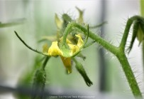 The tomatoes are in bloom in the greenhouse.