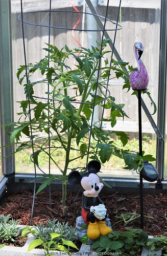 We've got some big tomato plants, already.