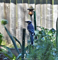The Blue Jay is happy with the garden.