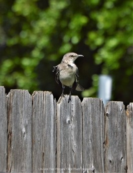 The Northern Mockingbird sits on the fence and sings the most beautiful songs of Spring.