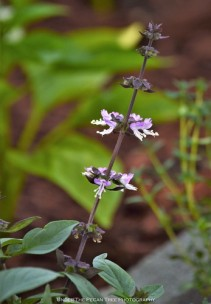 Blooming Thai Basil