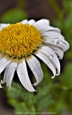 Shasta Daisy Droplets