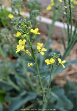 Our broccoli blooms and will go to seed soon.