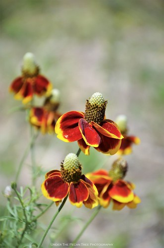 Mexican Hat/Prairie Coneflower