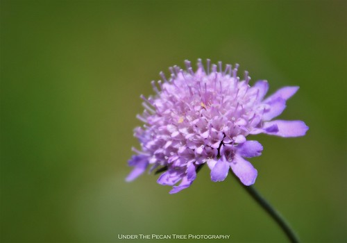 Pincushion/Scabiosa Butterfly Blue