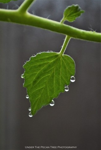 Tomato Leaf Droplets I