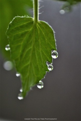 Tomato Leaf Droplets II