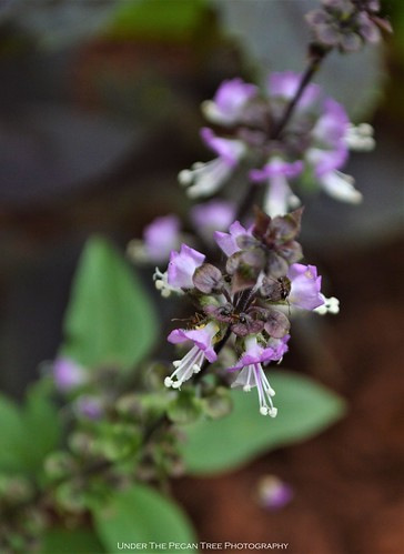 Thai Basil Blossoms
