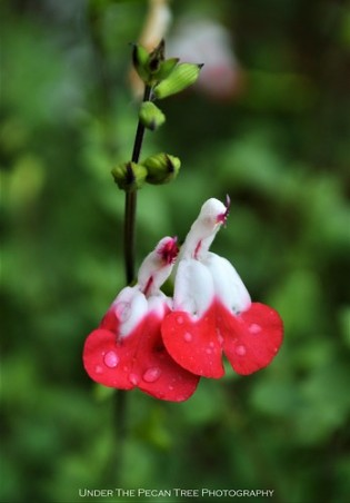 "Salvia ""Hot Lips"" Droplets"