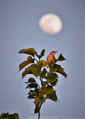 Our Texas State Bird sings in the sunset infront of the Waxing Gibbous Moon.