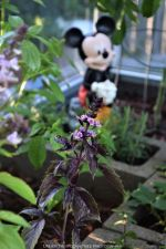Blooming Purple Basil