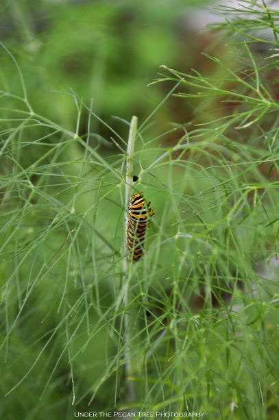 Black Swallowtail Caterpillar munching happily away the fennel tops.