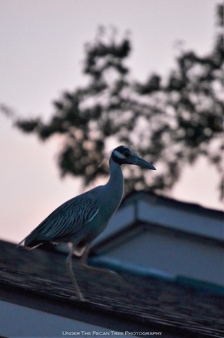 The Yellow-crowned Night Heron landed on our neighbor's roof, walked down the shingles, crossed the street, ...