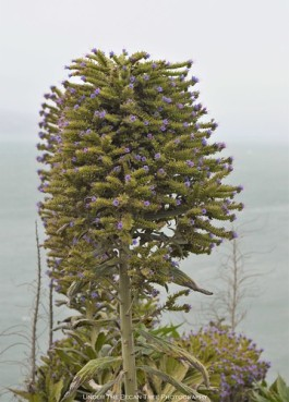 Tower of Jewels (Echium wildpretii) at the San Francisco Bay