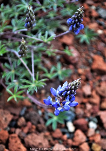 Blue Lupine in Oregon