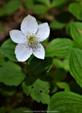 Three-leaved Anemone (Anemone deltoidea)