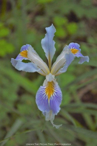 California Douglas Iris ... I wish, I had focused the front petal.
