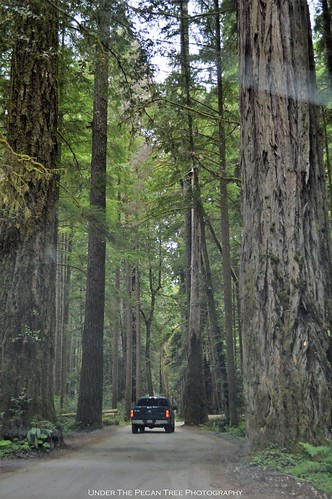 The Redwood trees dwarf the F150 (F250?) in front of us.