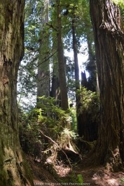 Redwoods along Prairie Creek Trail