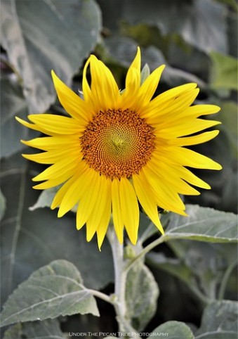 The sunflowers are starting to bloom in the garden beds.