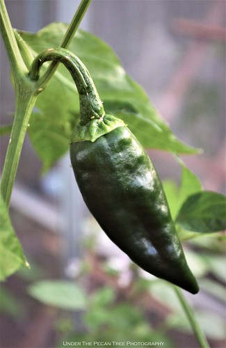 My first year growing poblano peppers