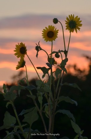 Sunflower sunset in a nearby field