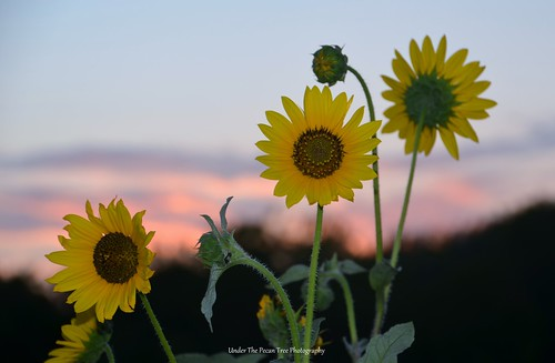 Common sunflowers