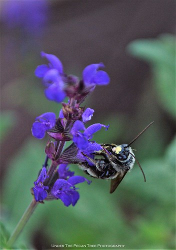 Leaf-cutter bee on Nemorosa Sage