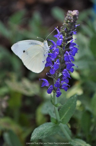 Cabbage White Butterfly on Nemorosa Sage