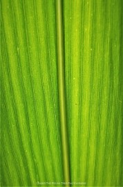 Corn Leaf close-up