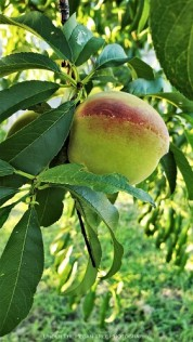 The peaches grow nicely.