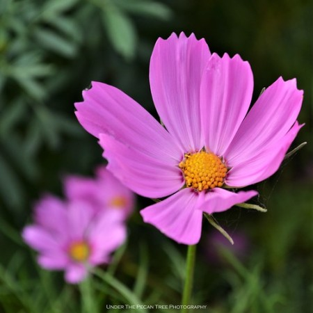Pink Cosmos I