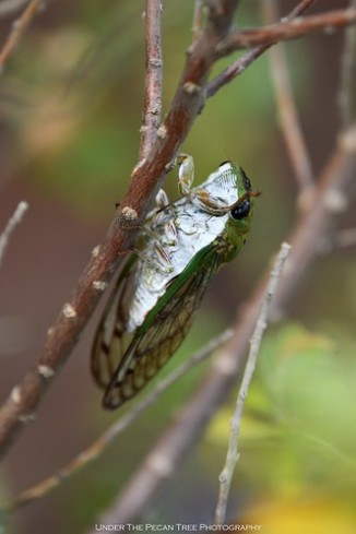 Green Cicada in our Texas Sage bush (belly)