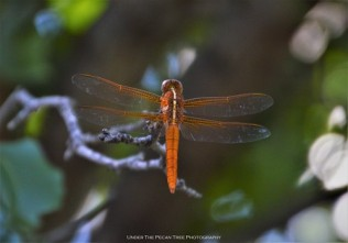 First time, I can recall having a Flame Skimmer in our yard. Usually I see them at the lake.